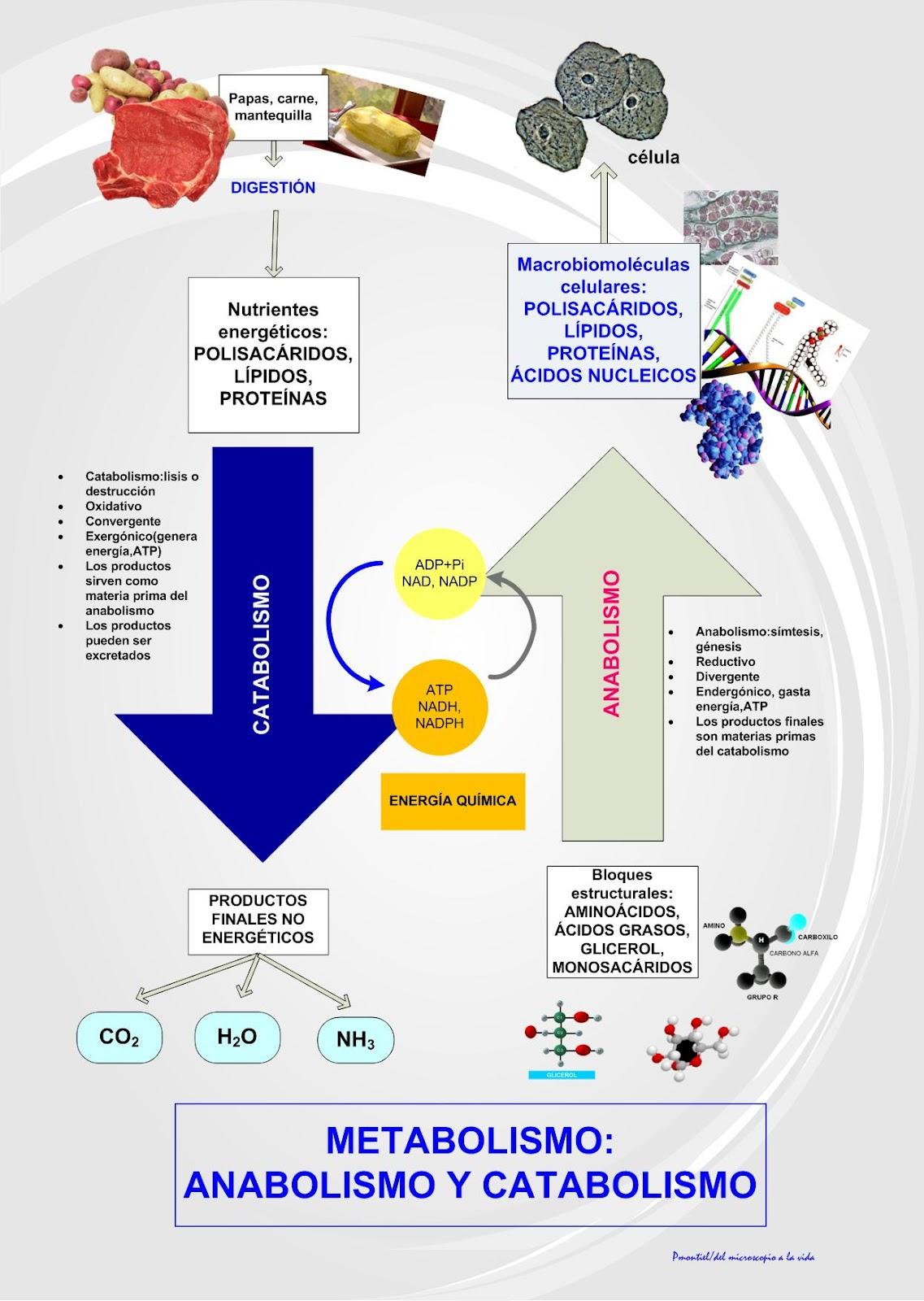 Catabolismo y anabolismo muscular
